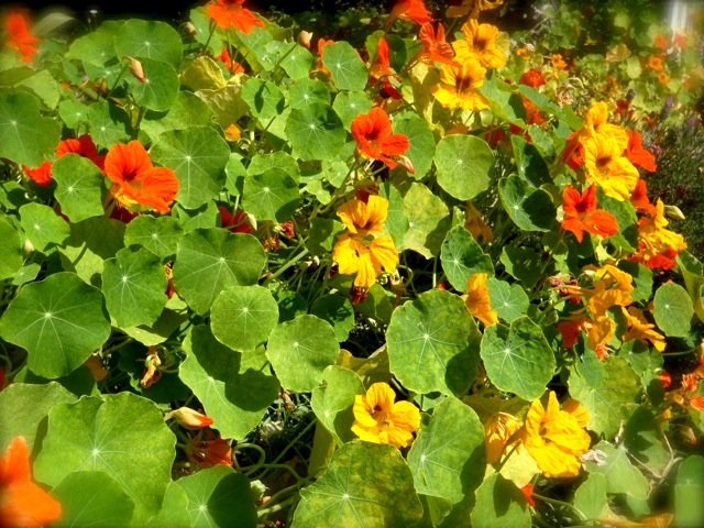 field of Nastursiums