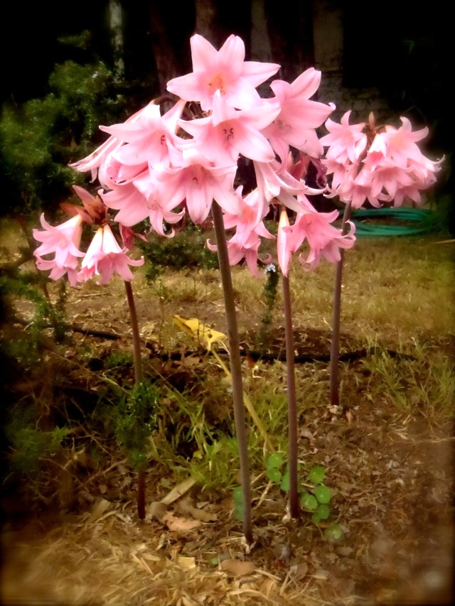 Pink Naked Ladies Flowers