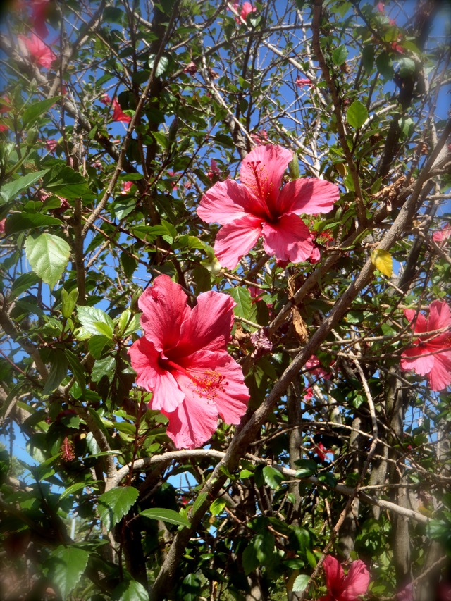 Hibiscus tree with pink flowers