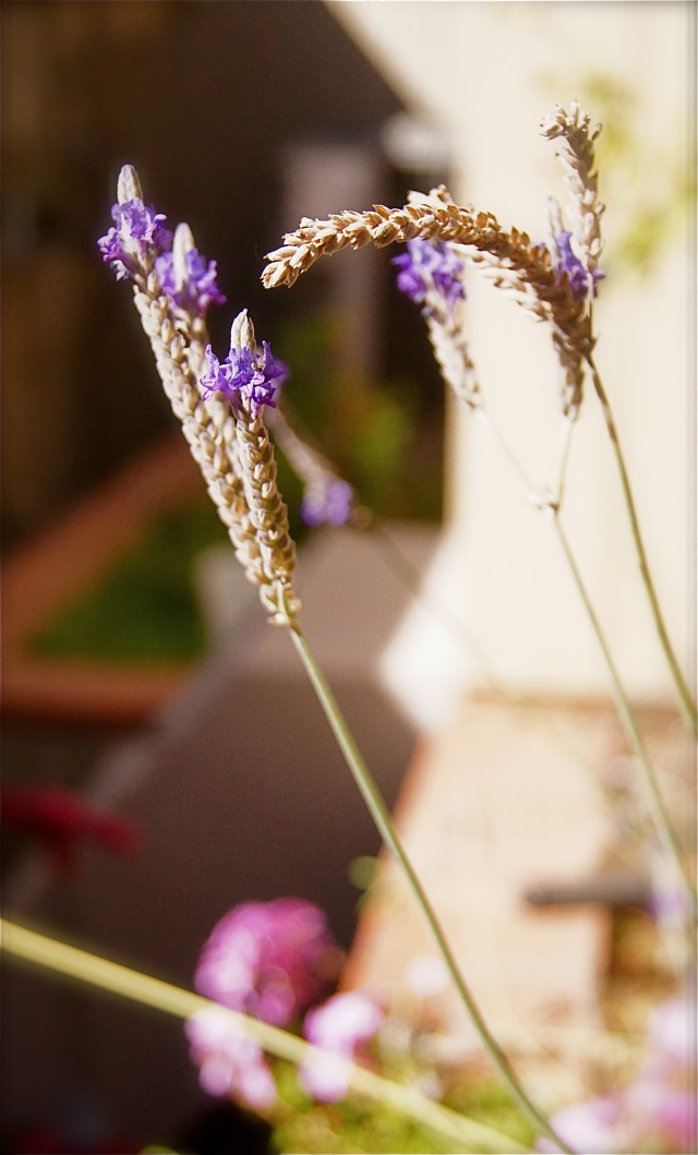 Fresh lavender flowers in the garden, about to be picked for Lavender-Rosemary Grilled Ribeye Steak