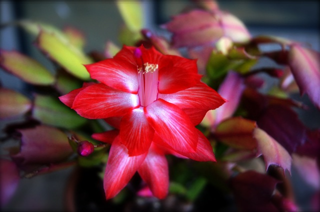 One bright red Christmas Cactus flower.