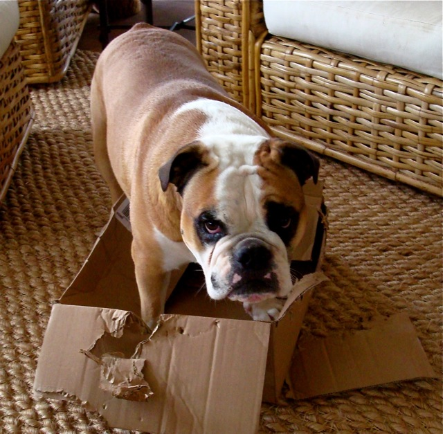 Cute Bulldog in a cardboard box.