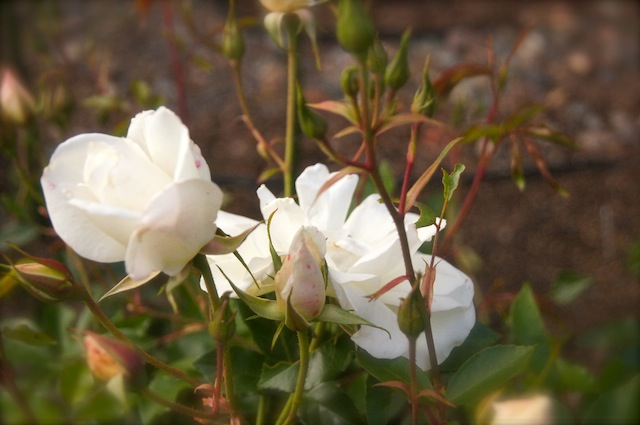 Close up of Iceberg Roses in a garden.