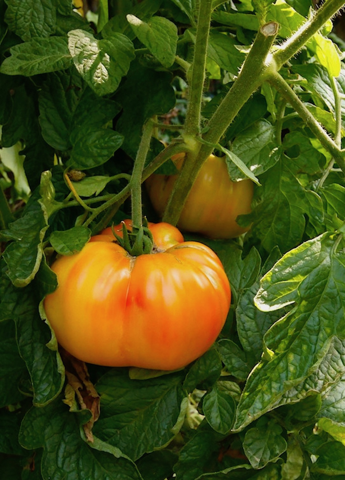 tomato growing on a vine
