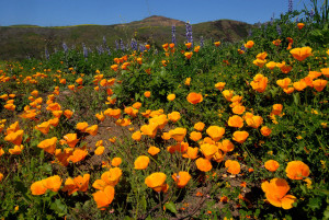 Photo taken by Jim Kenney, during the peak of California Poppy season (March-May)