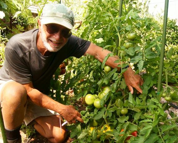 Man in tomato garden