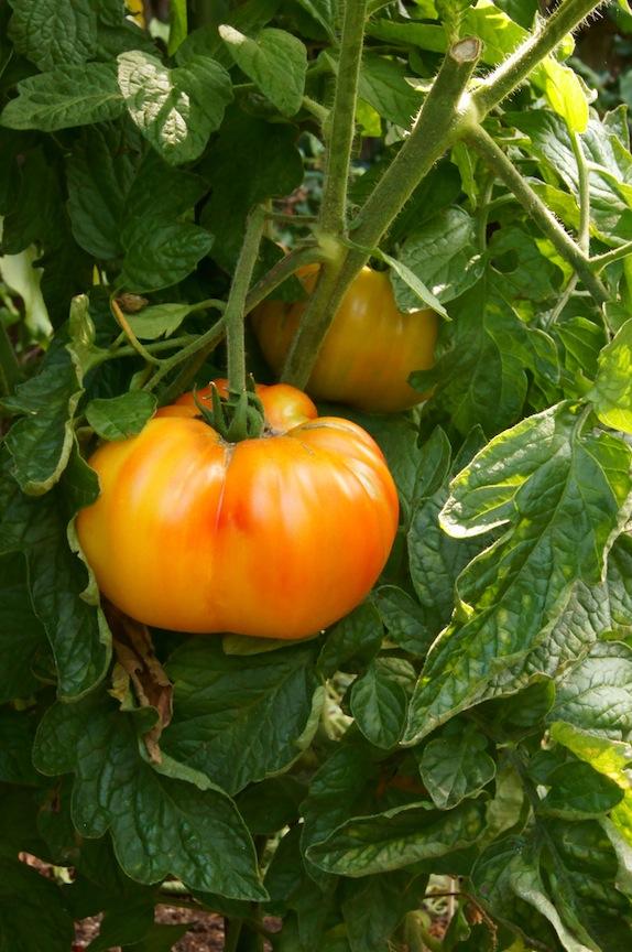 orange and yellow tomato growing on vine