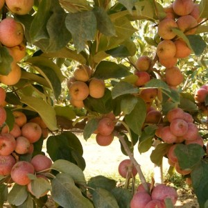 Cuyama Orchards: A Farm Full of Beauty, Family and Three-Hundred Acres of Organic Apples!