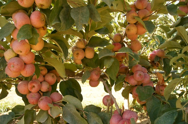 A tree full of pink apples at Cuyama Orchards