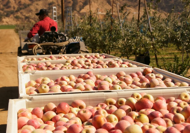 A truck with loads of apples being driven at Cuyama Orchards