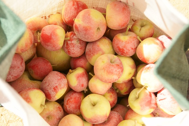 Large bag of freshly picked yellow and red Crimson Gold Apples at Cuyama Orchards