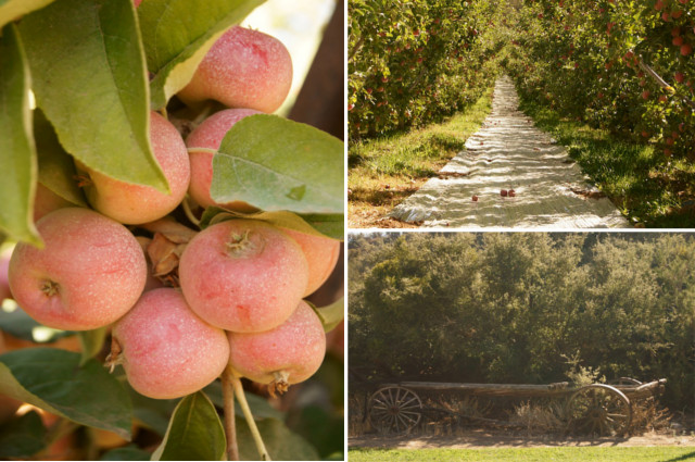 A large cluster of red apples on a branch and a road at Cuyama Orchards