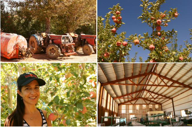 Tractors, apple trees, and Valentina at Cuyama Orchards