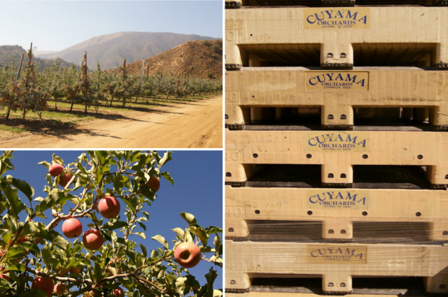 Apple tree and apple crates at Cuyama Orchards