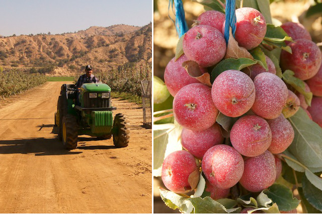 Small green tractor and cluster of apples on branch at Cuyama Orchards