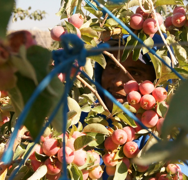 Farm worker picking Crimson Gold apples at Cuyama Orchards