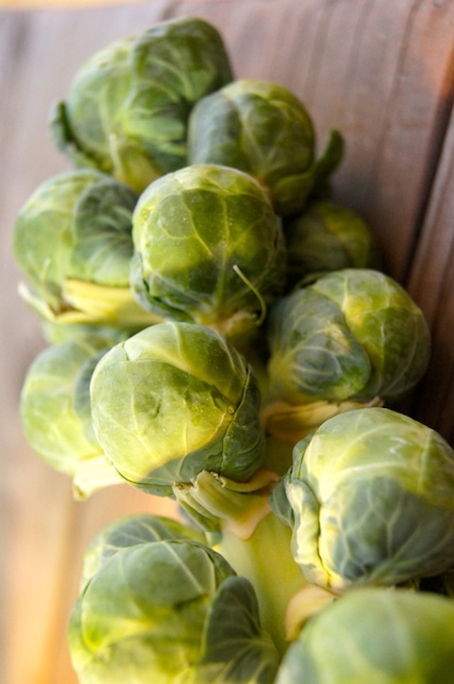 pretty brussles sprouts on the vine for Shredded Brussels Sprouts Recipe with Cranberries and Prosciutto