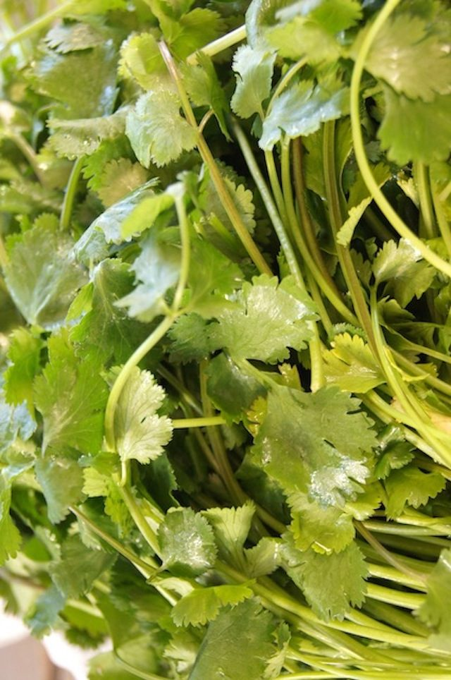 bunch of wet fresh cilantro
