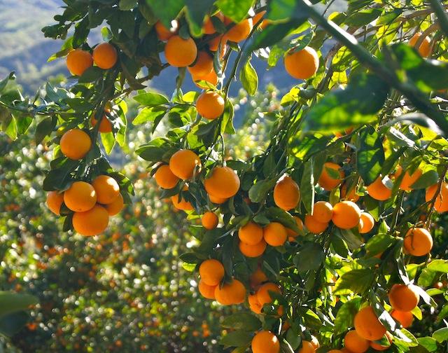 Ojai Pixie Tangerines