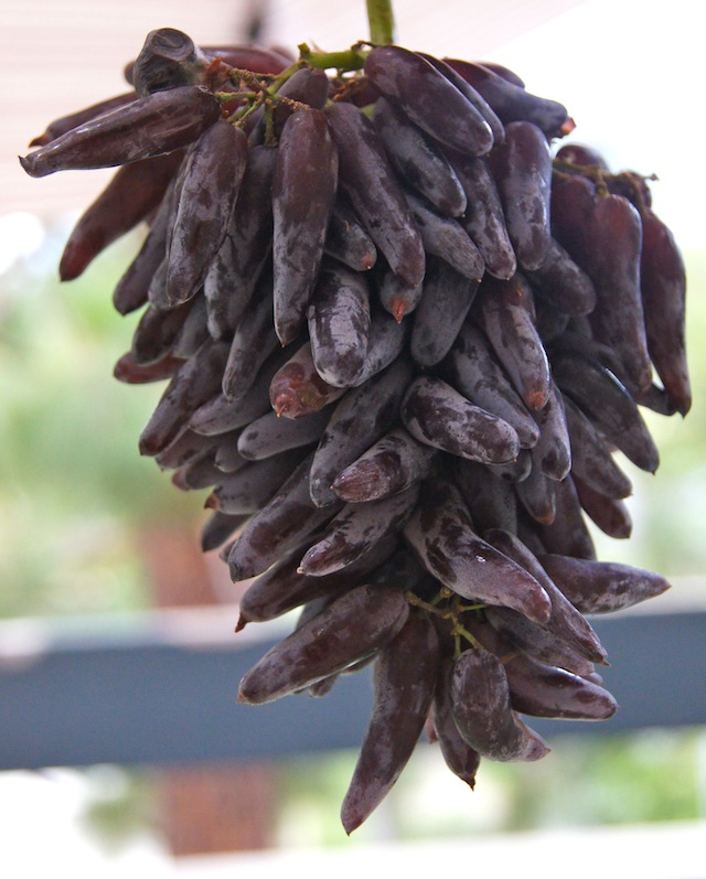 hanging bundle of Introducing Witch Fingers Grapes
