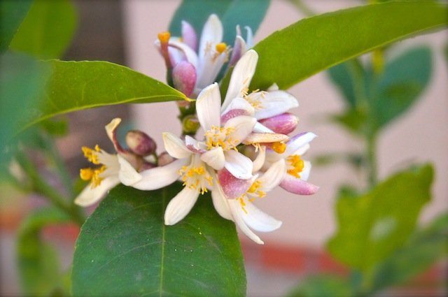 Lemon Blossoms on tree.