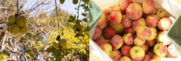 Fuji & Crimson Gold apples
