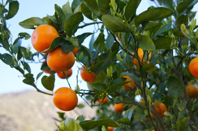 Ojai Pixie Tangerine tree with mountain and sky background.