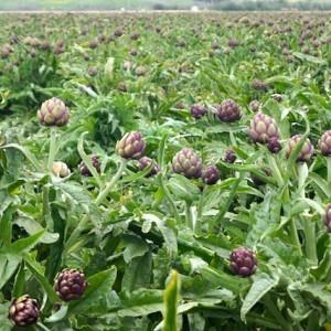 The Beauty of Baroda Farms and the Sangria Artichoke