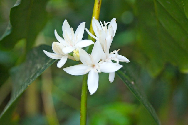 white Kona Coffee flower on vine