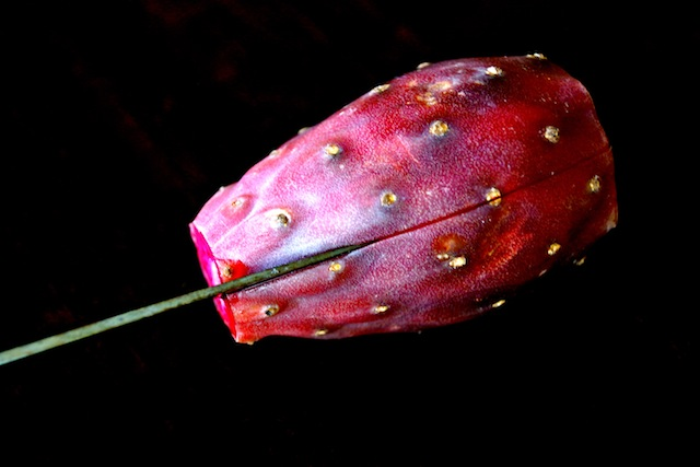 prickly pear being slit with a paring knife