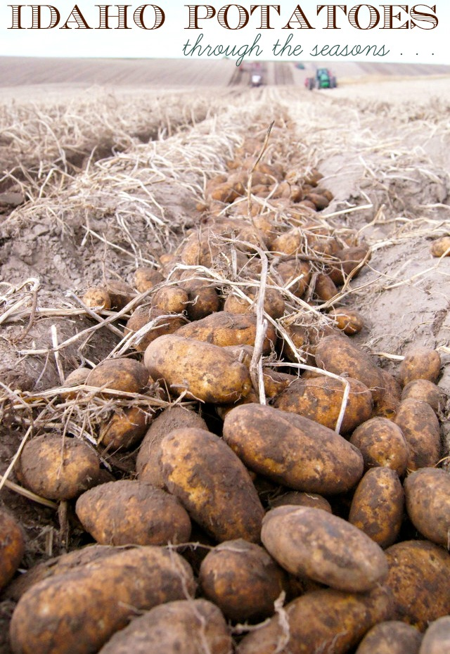 russet potatoes in the ground being harvested