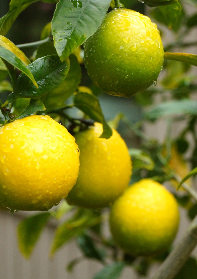 Meyer lemons hanging on a tree in the rain