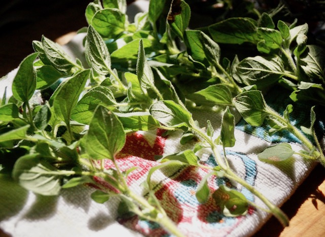 fresh oregano in the sunlight
