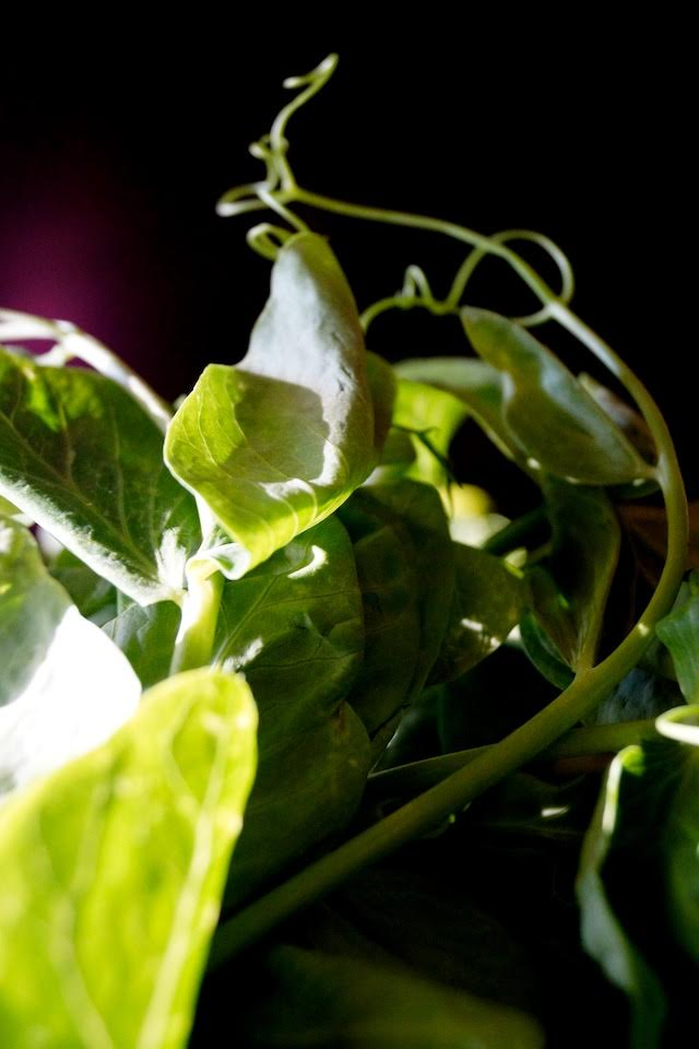 Snow Pea Shoots in the sunlight