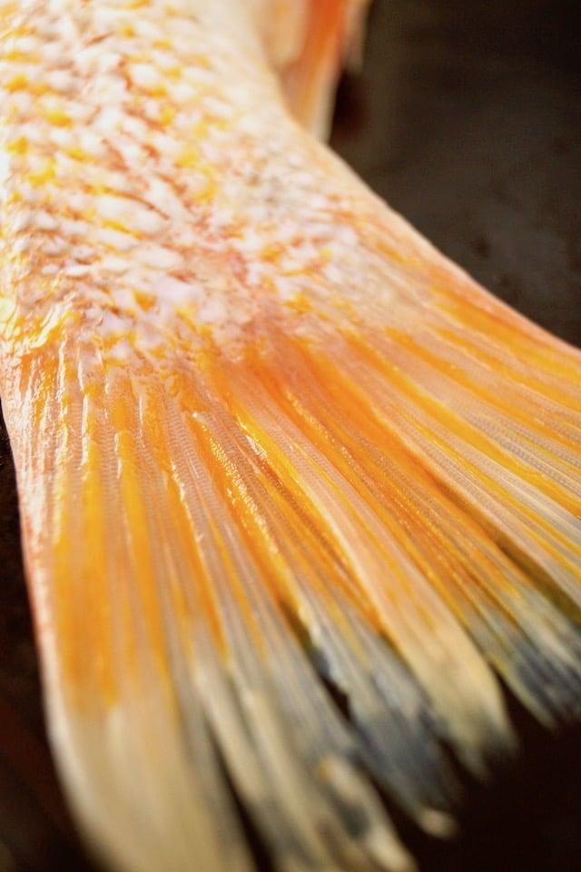 orange tail of vermilion rockfish