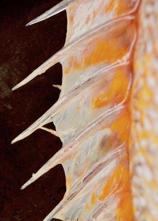 orangish bony plate on rockfish