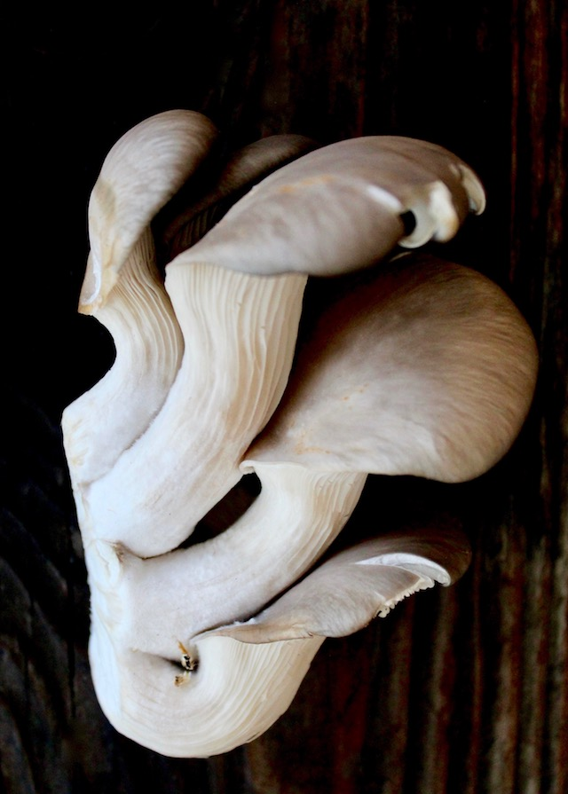 clump of raw oyster mushrooms on wood